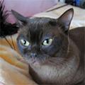 Восточные кошки
