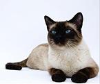 Скорее всего, вы услышите в ответ, что это кошки сиамских королей и...