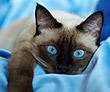 Лучшая тайская кошка 2009 - Ch. Гав Тигровый Глаз