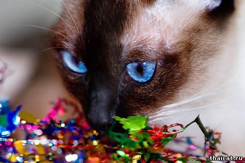 новогодние обои с тайскими кошками