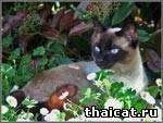 Обои с тайскими кошками