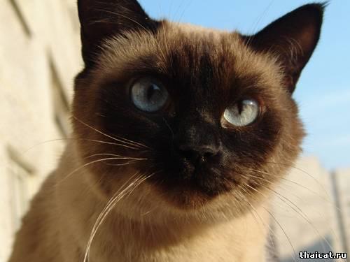 скачать фотообои, обои на рабочий стол, с тайскими кошками