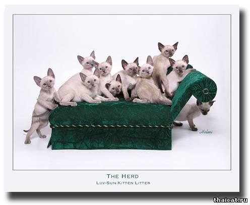 Оформить заявку на тайского котенка