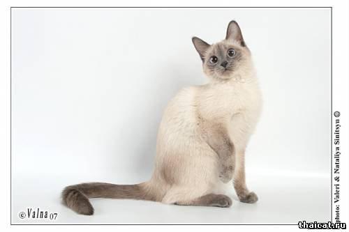 тайская кошка окраса блю-пойнт