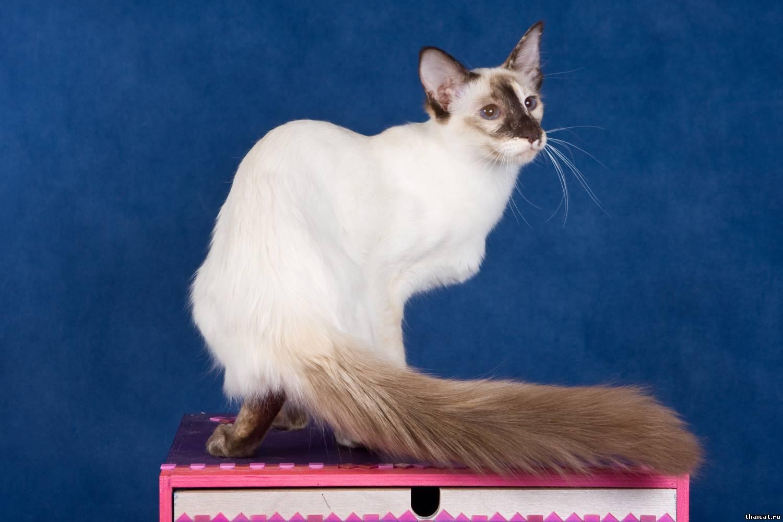 фото кота балинеза