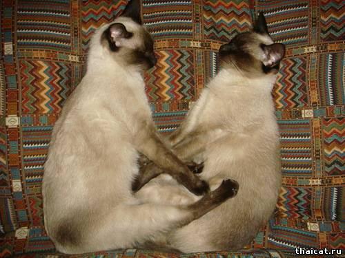 Самый тайский иероглиф по версии Клуба Тайских Кошек 2012