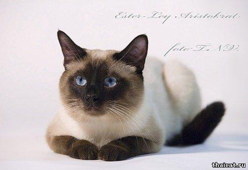 Лучший тайский кот 2009