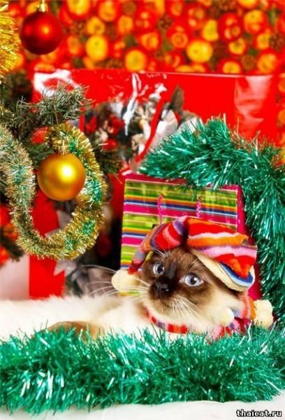 открытки с тайскими кошками