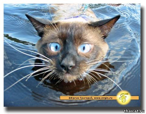 Сиамский водоплавающий кот.  Эти глаза.  Их не забыть.