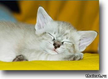 окрасы тайских кошек, тебби-пойнт