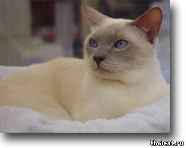 окрасы тайских кошек, лайлак-пойнт
