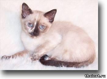 окрасы тайских кошек, торти-пойнт