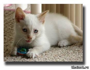 окрасы тайских кошек, ред-пойнт