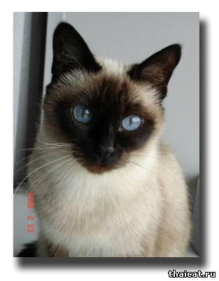 тайская кошка, сил-пойнт