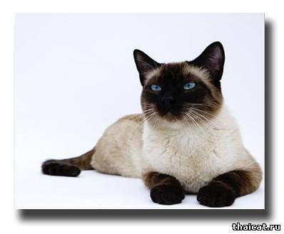 Тайская кошка новое имя или новая