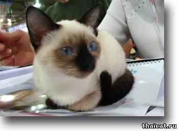 окрасы тайских кошек, сил-пойнт