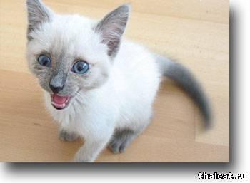 окрасы тайских кошек, блю-пойнт