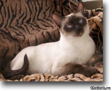 окрасы тайских кошек, шоколад-пойнт