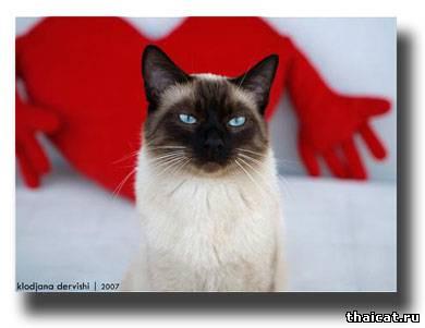 Балинезы и другие тайские кошки