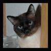 Питомник тайских кошек Hamilton