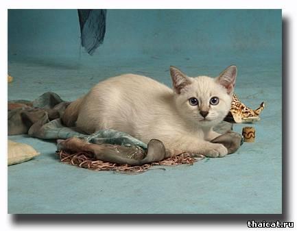 Тайский котенок, питомник Музыка ветра