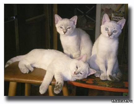 Тайские котята. Питомник тайских кошек Музыка ветра