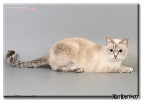 Тайская кошка Сатис из Династии Последних Королей, питомник Музыка Ветра