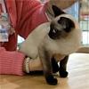 Тайская кошка - русское явление