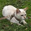 Определяем окрас будущих котят по решетке Паннета