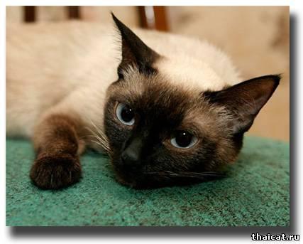 Тайская кошка диана г москва