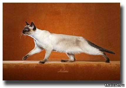 классическая сиамская кошка