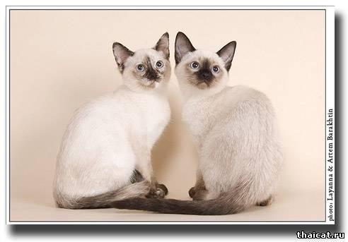 тайские котята, окрасы сил-торти-пойнт и сил-пойнт