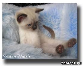 воспитание тайского котенка