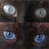Цвет глаз сиамских кошек: от бледно-голубого до темно-синего