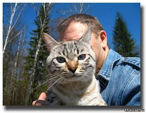 тайский кот на прогулке