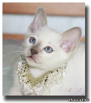 Тайский котенок Белоснежка Мусипуси, окрас лайлак-пойнт