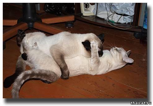 Почему кошка после вязки катается по полу 132