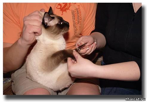 Подстригаем ноготки тайскому коту.