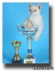 тайский котенок