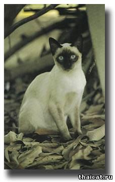 сиамская кошка окраса колор-пойнт