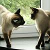 Заболевания кошек, передающиеся при вязке