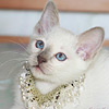 Маминаличная кошка - Белоснежка Мусипуси