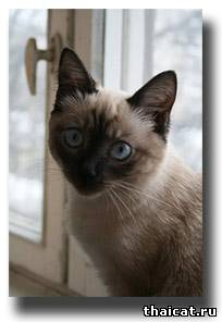 тайский  котенок на окне