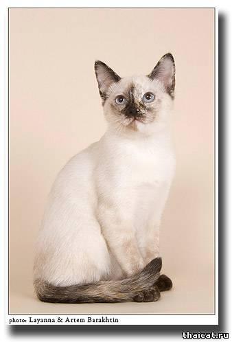 тайский котенок, окрас сил-торти-пойнт