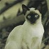 Сиамские кошки и древние манускрипты