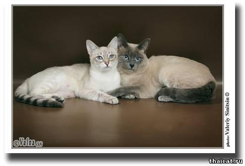Тайская кошка стандарт мфа