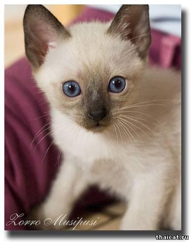 тайский котенок окраса сил-пойнт