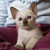 Различия в окрасах у тайских котят в возрасте 1-2 мес