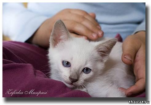 тайский котенок окраса лайлак-пойнт