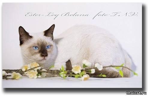 тайский кот окраса шоколад-пойнт